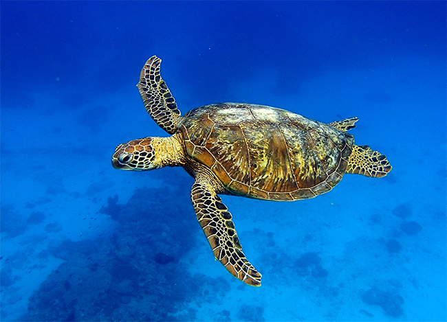 A green turtle cruising by. Photo: Lady Elliot Island Eco Resort