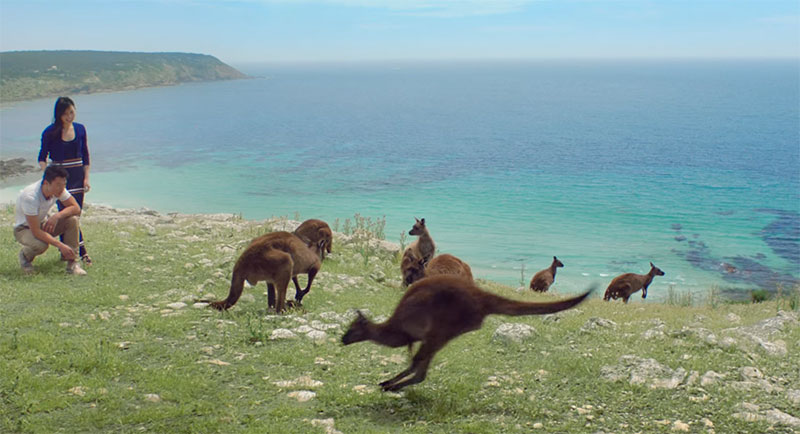 Kangaroos on a headland