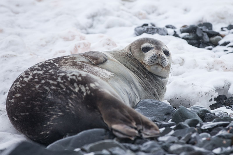 A seal in Antarctica. Supplied